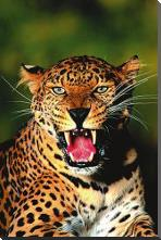 Leopard art print poster with block mounting