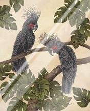 Black Palm Cockatoos art print poster with laminate