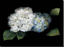 Hydrangea art print poster with block mounting
