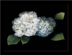 Hydrangea art print poster with simple frame