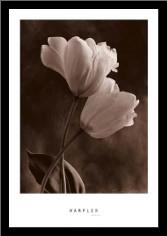 Bending Tulip art print poster with simple frame