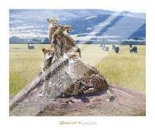 Cheetah Watch art print poster with laminate