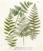 Fern Gathering I art print poster with laminate
