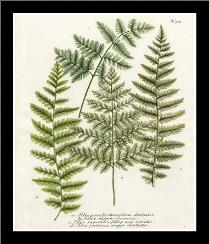 Fern Gathering I art print poster with simple frame