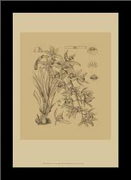 B W Curtis Orchid (Wg) VII art print poster with simple frame