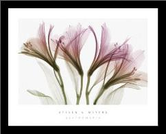 Alstromeria art print poster with simple frame