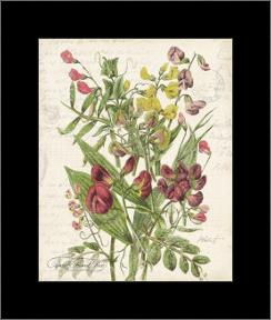 April Sweet Pea art print poster with simple frame