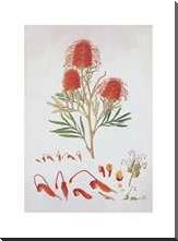 Red Silky Oak art print poster with block mounting