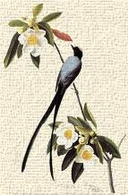 Fork-Tailed Flycatcher art print poster transferred to canvas