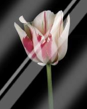 Tulipa Sorbet art print poster with laminate