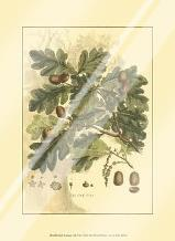 Small Antique Oak Tree art print poster with laminate