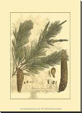 Small Antique Weymouth Pine Tree art print poster with block mounting