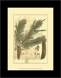 Small Antique Weymouth Pine Tree art print poster with simple frame