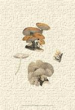 Curtis Mushrooms I art print poster transferred to canvas