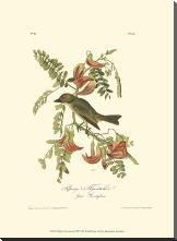 Pipiry Flycatcher art print poster with block mounting