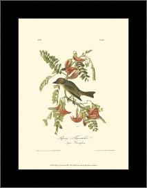 Pipiry Flycatcher art print poster with simple frame