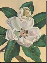 Afternoon Magnolia art print poster with block mounting