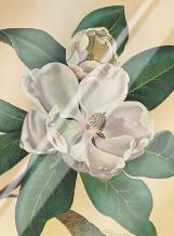 Afternoon Magnolia art print poster with laminate