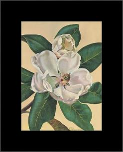 Afternoon Magnolia art print poster with simple frame