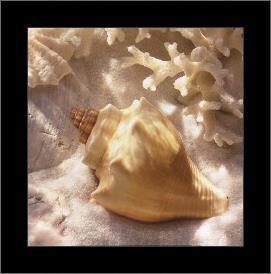 Coral Shell IV art print poster with simple frame