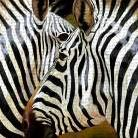 Zebra Close-up art print poster transferred to canvas