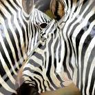 Zebra Close-up art print poster with laminate