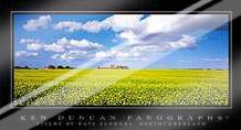 Fields of Rape Flowers, Northumberland art print poster with laminate