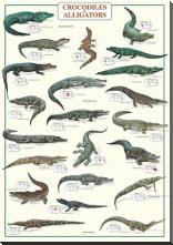 Crocodiles and Alligators art print poster with block mounting