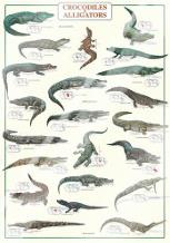Crocodiles and Alligators art print poster with laminate