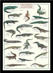 Crocodiles and Alligators art print poster with simple frame