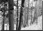 Aspens with snow, Gunnison National Forest, Colorado - BW art print poster with block mounting