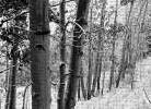 Aspens with snow, Gunnison National Forest, Colorado - BW art print poster transferred to canvas