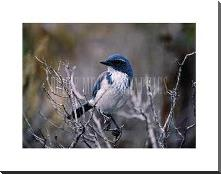 Scrub Jay art print poster with block mounting
