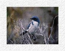 Scrub Jay art print poster transferred to canvas