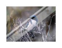 Scrub Jay art print poster with laminate