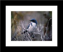 Scrub Jay art print poster with simple frame