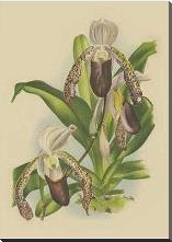 Lindenia Orchids II art print poster with block mounting