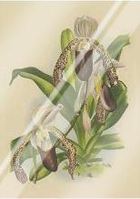 Lindenia Orchids II art print poster with laminate