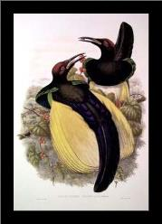 Gould Bird of Paradise IV art print poster with simple frame