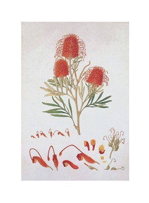 Red Silky Oak poster print by Ferdinand Bauer