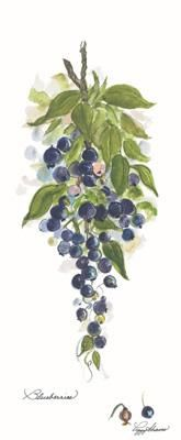 Blueberries poster print by Peggy Abrams