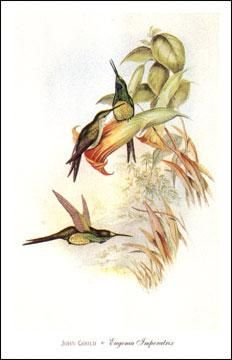 Eugenia Imperatrix poster print by John Gould