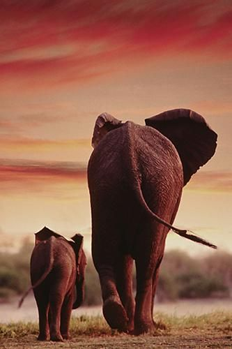 Elephant Walking with Calf poster print by  Unknown