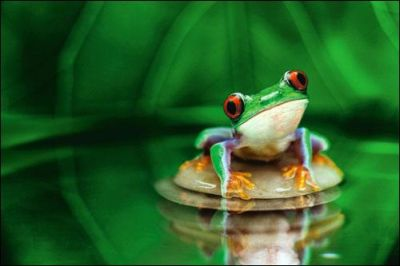 Red-Eyed Tree Frog poster print by  Unknown