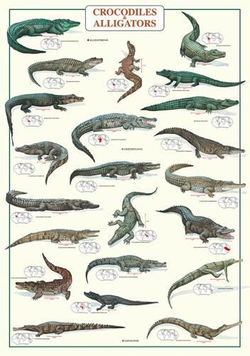 Crocodiles and Alligators poster print by  Unknown