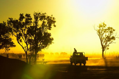 Silhouetted cattle muster at sunset, Armraynald Station. poster print by Johnny Haglund