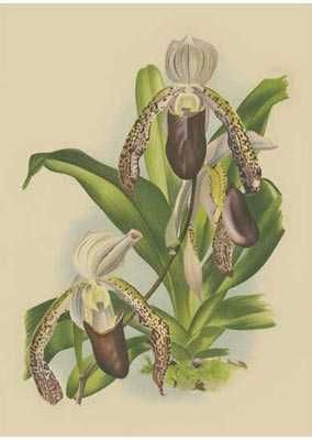 Lindenia Orchids II poster print by  Unknown