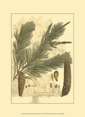 Small Antique Weymouth Pine Tree poster print by John Miller