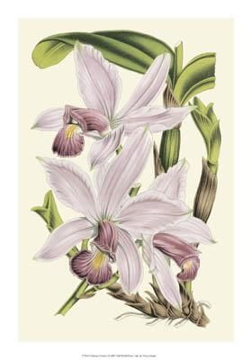 Delicate Orchid I poster print by Vision Studio