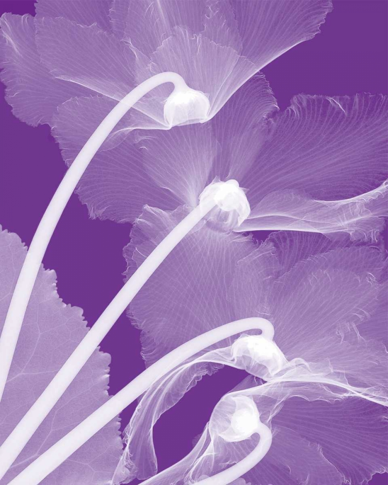 Cyclamen-White poster print by Steven N. Meyers